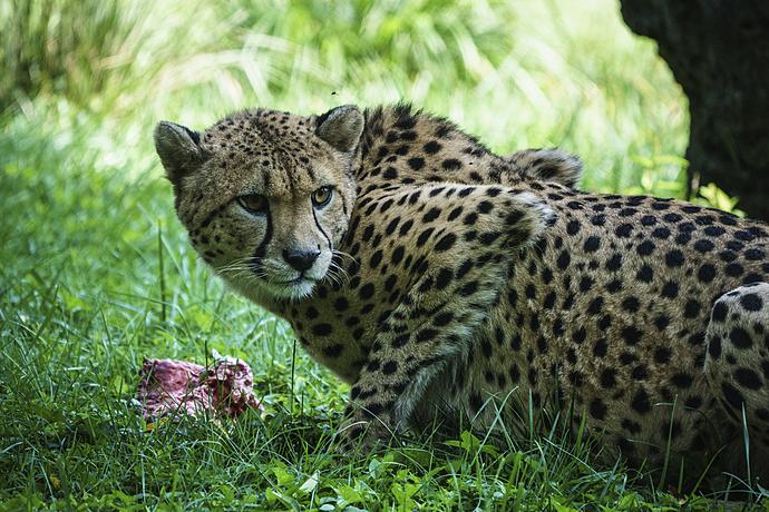 Cheetah Protective of Meal at National Zoo