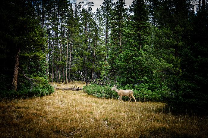 Deer Running through Woods at Grand Teton National Park