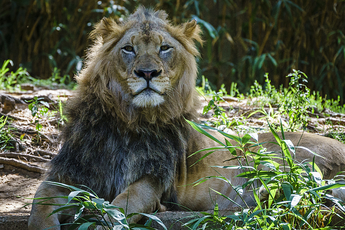 Lion Challenges Me to a Staring Contest
