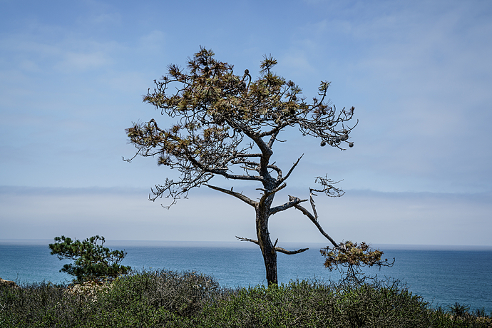 Torrey Pine with Pacific Ocean