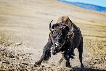 Apparently Charging Buffalo at National Bison Range