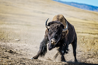Apparently Charging Buffalo at National Bison Range