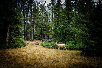 Deer Running through Woods at Grand Teton National Park