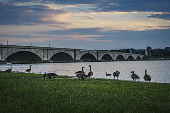 Geese Congregate on Potomac Shoreline in front of Arlington Memorial Bridge