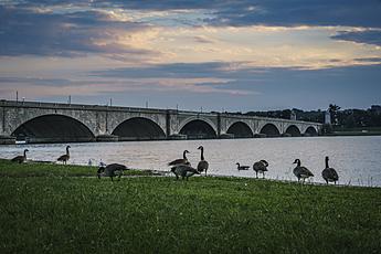Geese Congregate on Potomac Shoreline in front of Arlington Memorial Bridge