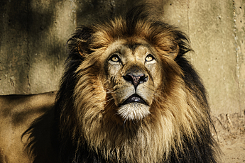 Lion Stares Upward at National Zoo