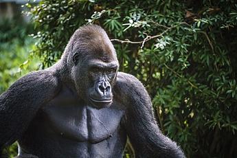 Pensive Gorilla at National Zoo