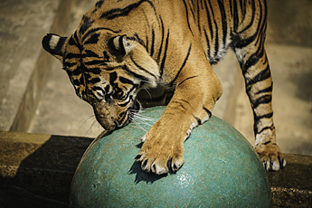 Tiger Plays with Large Ball at National Zoo