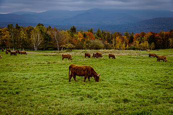Bulls graze on a dark fall day at the Trapp Family Lodge